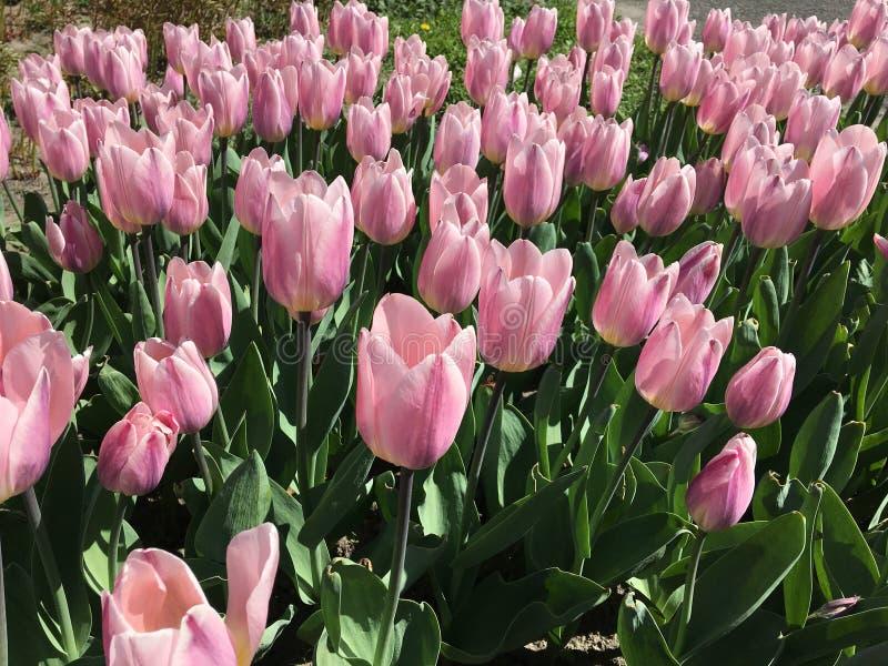 许多桃红色郁金香花 名字:光和梦想 免版税库存图片