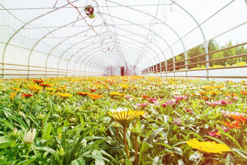许多桔子花自温室 花的生产和耕种 杂色菊属植物的巨大的种植园 免版税库存图片