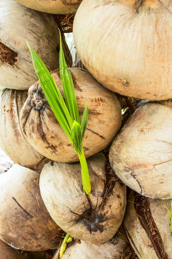 许多椰子 免版税图库摄影