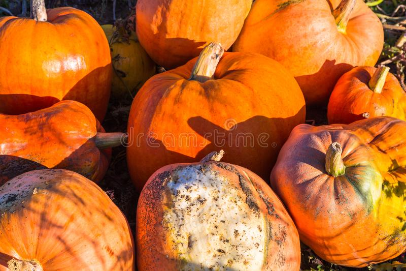 许多橙色南瓜收获了 免版税图库摄影