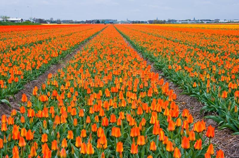 许多橙色郁金香 库存图片