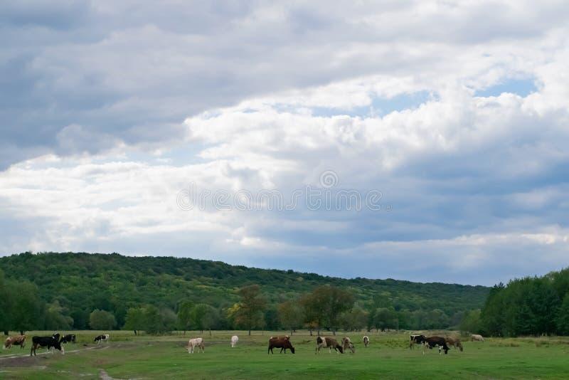 许多母牛在一个绿色草甸吃草,秋天草甸和多云天空的 库存照片