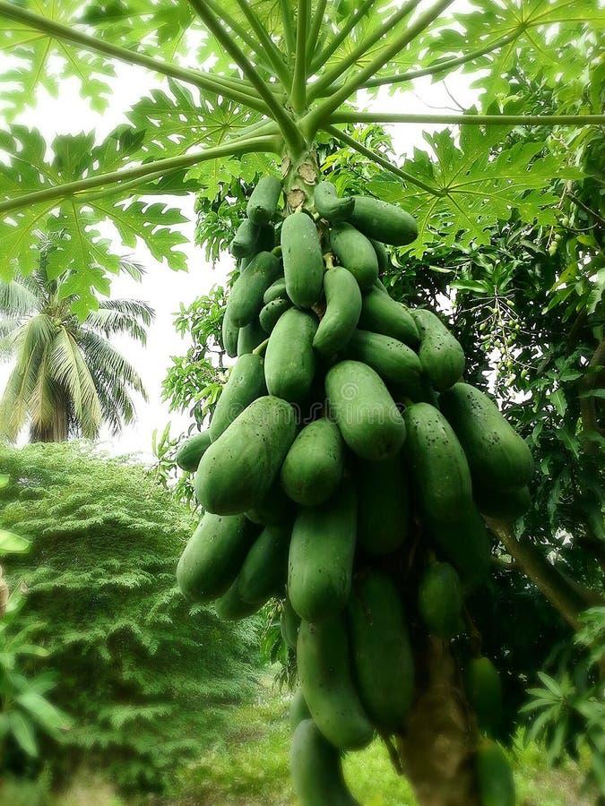 许多番木瓜 免版税库存图片