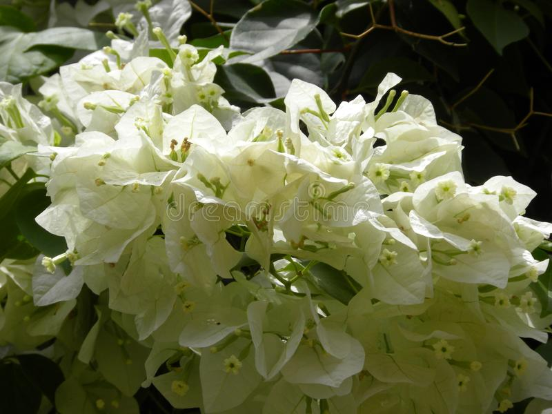 许多白色颜色九重葛开花和装饰藤 库存图片