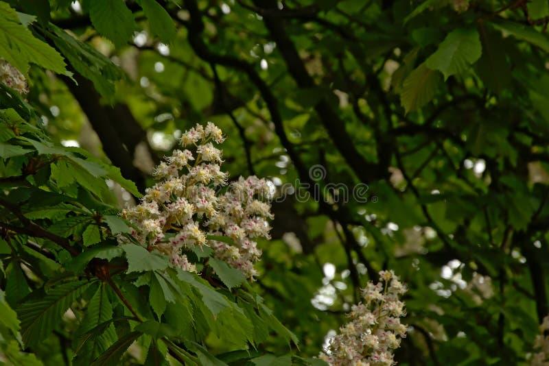 许多白马栗子开花-七页树属hippocastanum 库存照片