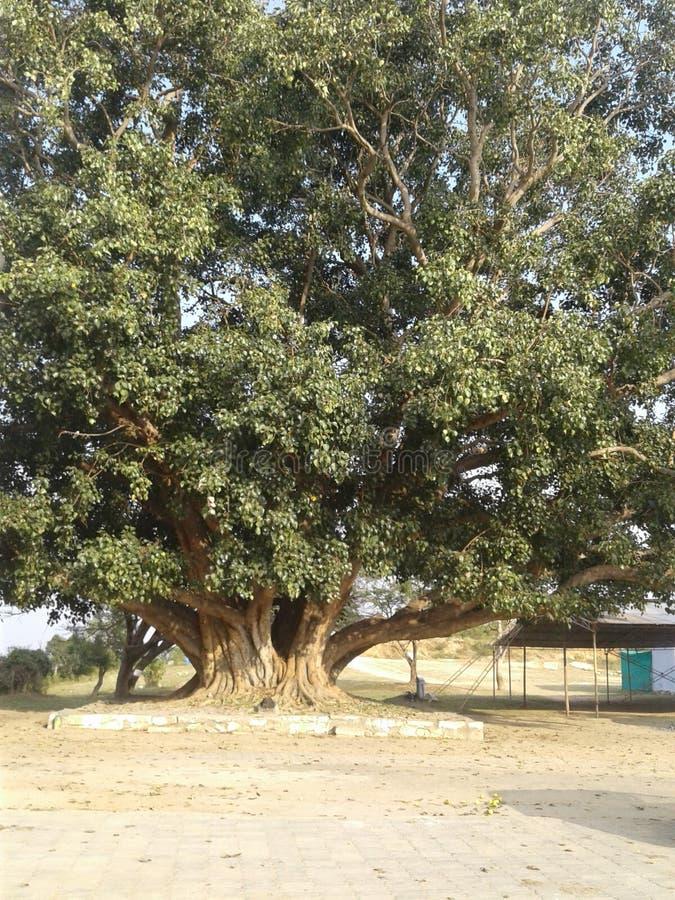 许多的大绿色秀丽年树 免版税库存照片