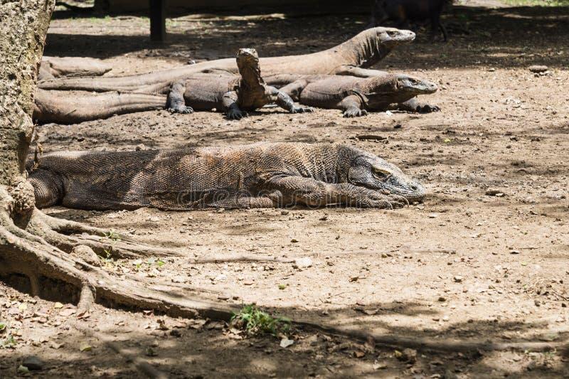 许多科莫多巨蜥在村庄在林卡岛海岛,科莫多国家公园,印度尼西亚 图库摄影