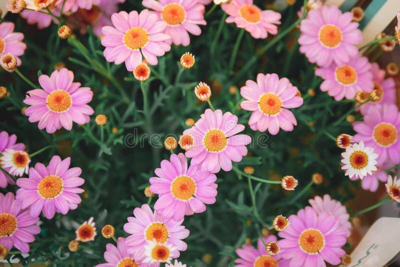 许多粉红的雏菊特写,粉色高山紫菀的野花,精致的丁香花背景 免版税库存图片