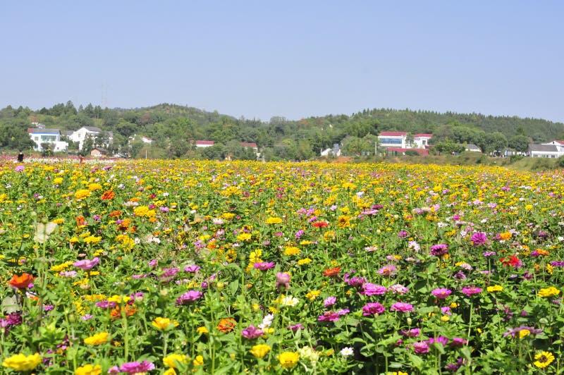 许多美丽的狂放的菊花花 库存照片