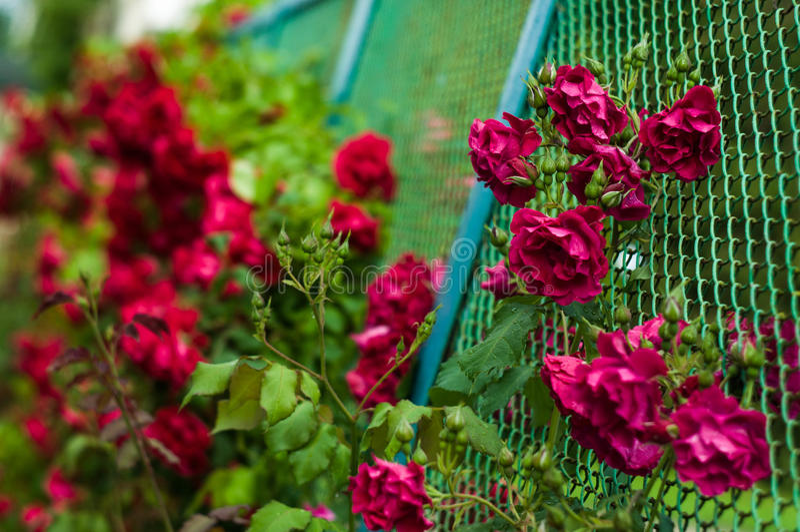 许多美丽的花上升了与下落 免版税库存照片
