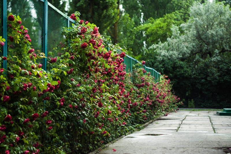 许多美丽的花上升了与下落 免版税库存图片