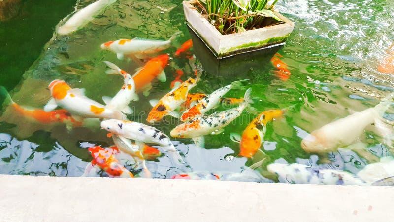 许多花梢鲤鱼鱼在池塘 向量例证