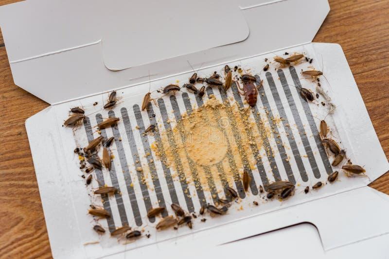 许多蟑螂由贴纸或俘获器catched 库存照片