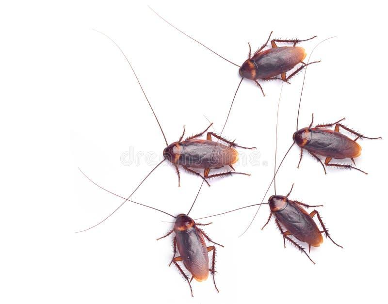 许多蟑螂顶视图  图库摄影