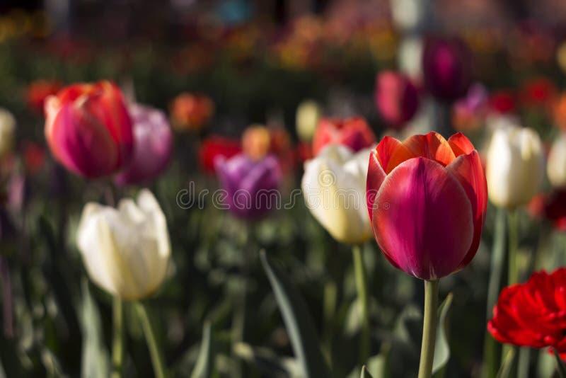 许多郁金香在红色的庭院里-,白色,桃红色花 免版税库存照片