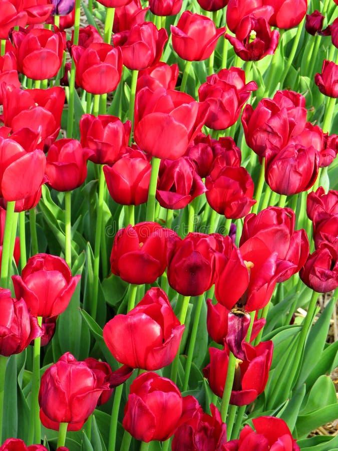 许多非常在领域的明亮的红色郁金香 免版税库存照片