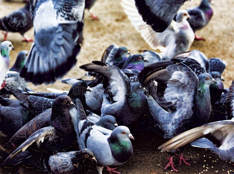 许多饥饿的鸽子 图库摄影
