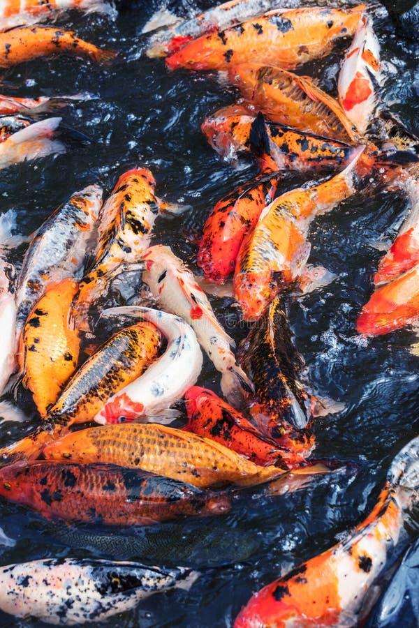 许多鲤鱼在湖 免版税库存照片