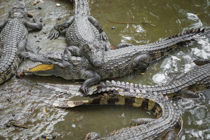 许多鳄鱼画象在农场的在越南,亚洲 免版税库存照片