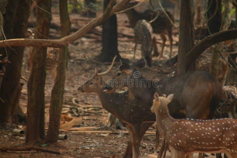 许多鹿一起站立 库存图片