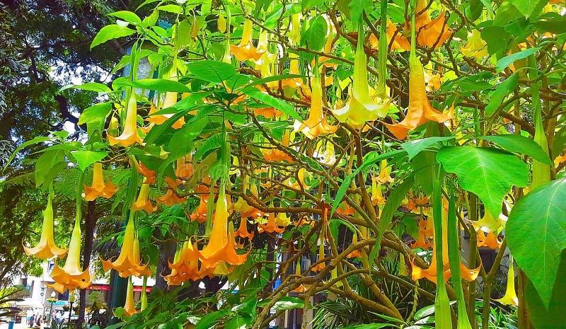 许多黄色brugmansia在夏时命名了天使喇叭或曼陀罗花开花 免版税图库摄影