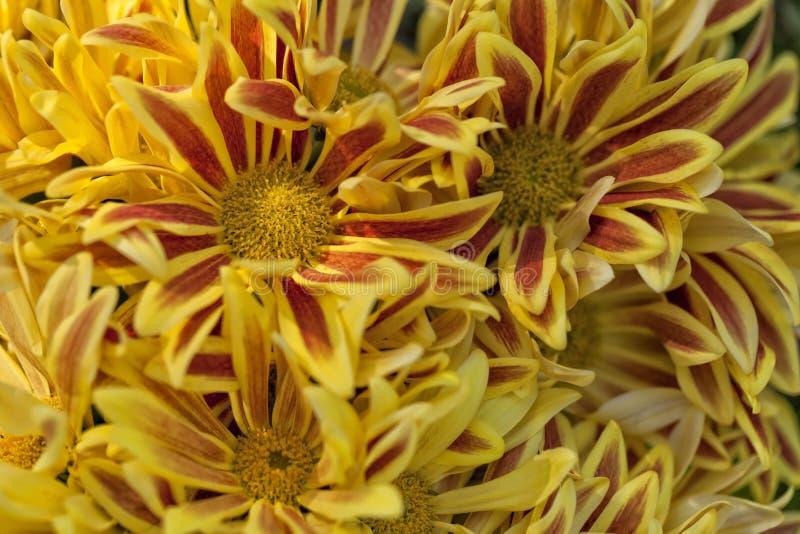 许多黄色Chrysanthemum湖价值 免版税库存照片