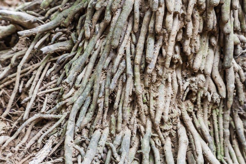 许多Caryota urens根有在棕榈树的地面上的绿色 库存照片