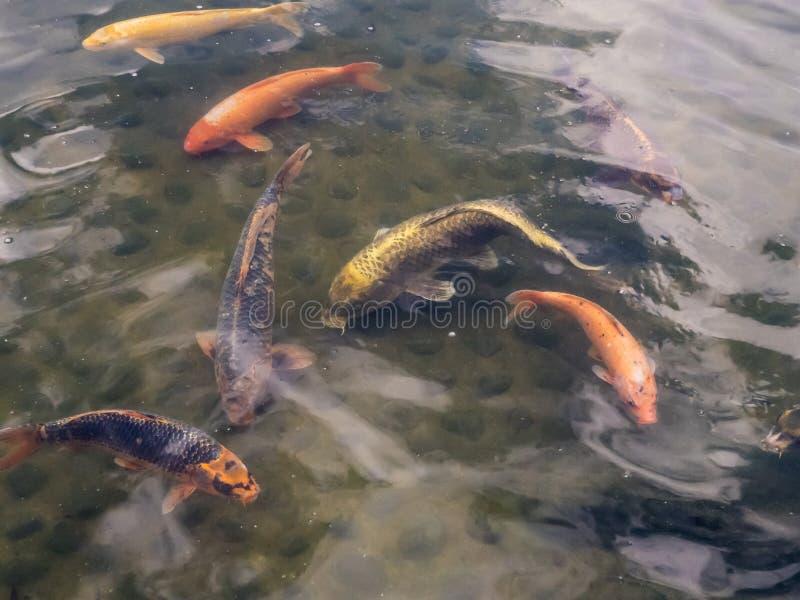 许多koi鱼在池塘 免版税图库摄影