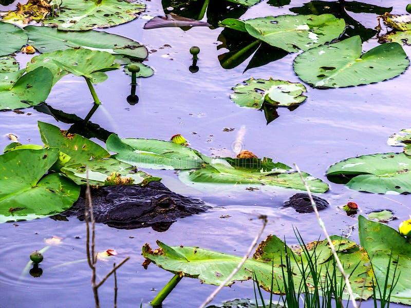设定在lilly垫的鳄鱼埋伏 免版税库存照片