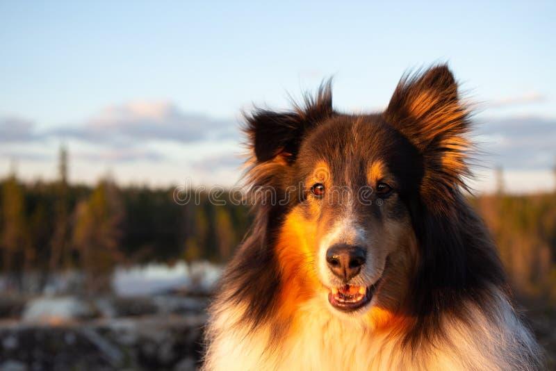 设德蓝群岛牧羊犬在日落的夏天 图库摄影