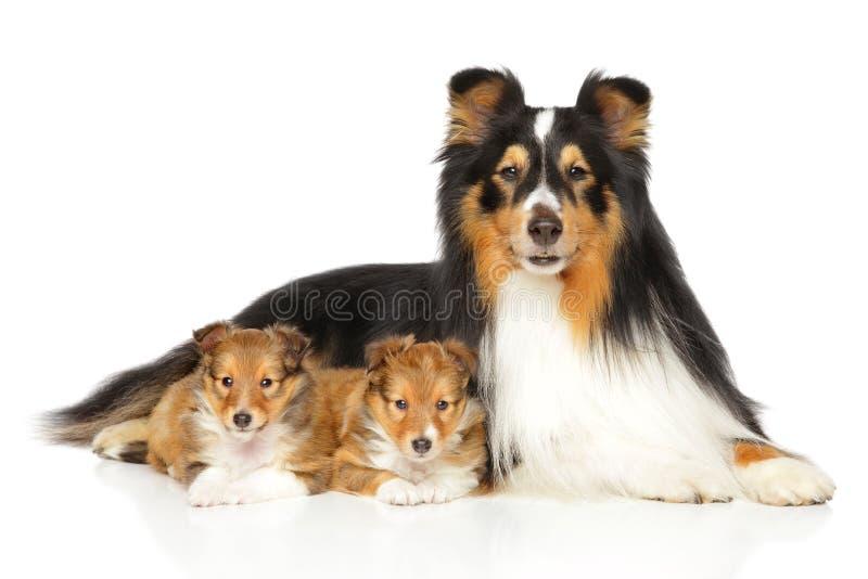 设德蓝群岛牧羊犬小狗和父亲 库存照片