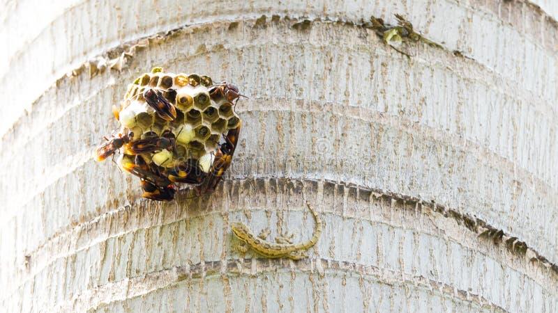 设法亚洲议院壁虎的hemidactylus战斗到一束黄蜂在它的垂悬从树的巢附近 免版税图库摄影
