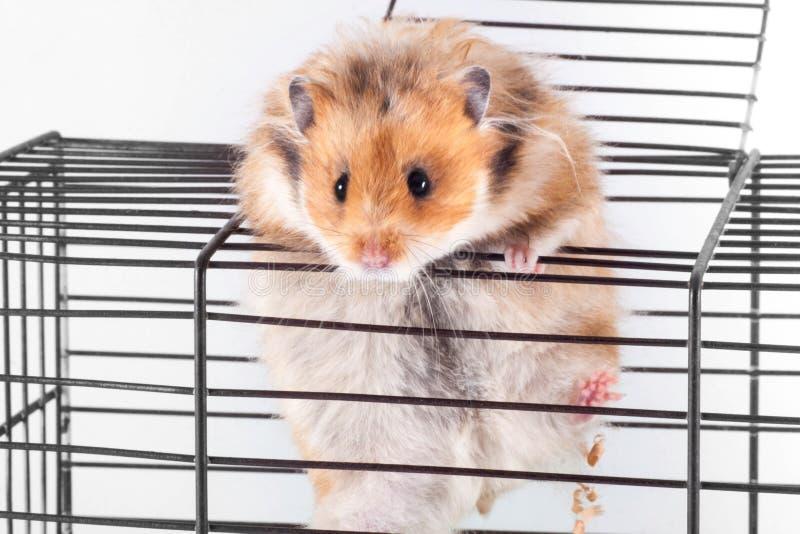 设法叙利亚的仓鼠从笼子逃脱 库存照片