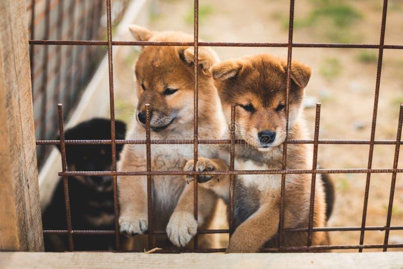 设法小组严肃的红色日本shiba inu的小狗坐在鸟舍和逃脱 免版税库存照片