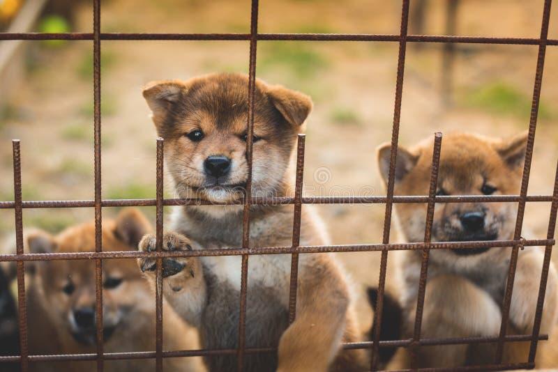 设法小组逗人喜爱的红色日本shiba inu的小狗坐在鸟舍和逃脱 免版税库存照片