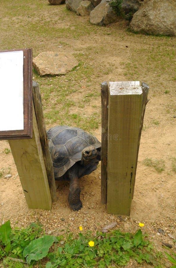 设法滑稽的动物的草龟逃脱 库存图片