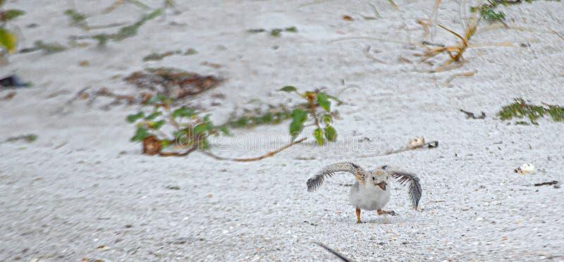 设法漏杓的小鸡飞行在印度岩石海滩,佛罗里达 库存照片