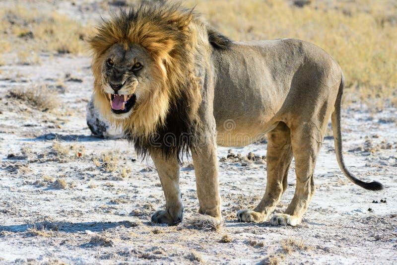 设法的狮子威逼 图库摄影