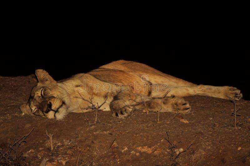 设法的雌狮得到休息 库存图片