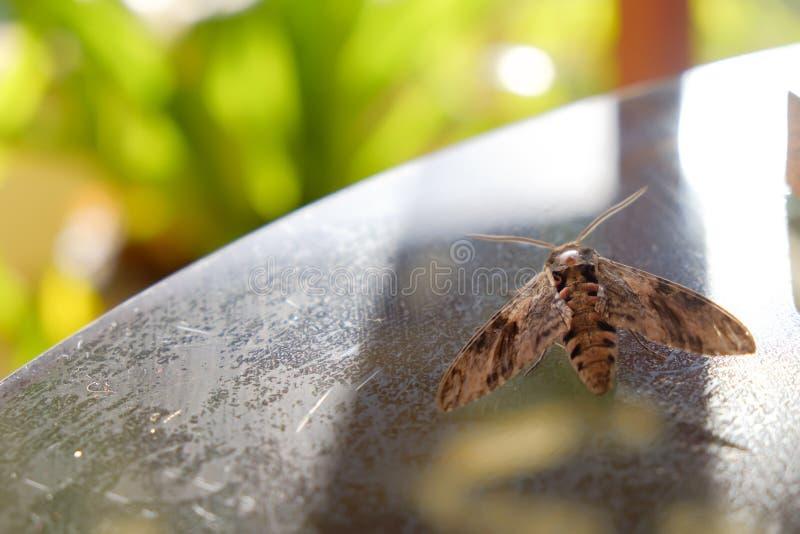 设法的飞蛾飞行在表上 库存照片