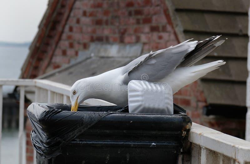 设法的鲱鸥发现在街道废物箱的食物 免版税库存照片