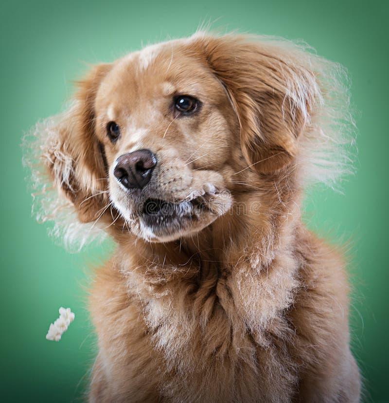 设法金毛猎犬的狗捉住玉米花 库存图片