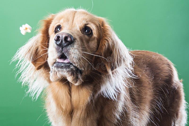 设法金毛猎犬的狗捉住玉米花 图库摄影