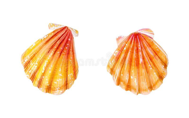 设置两只黄海扇贝 皇族释放例证