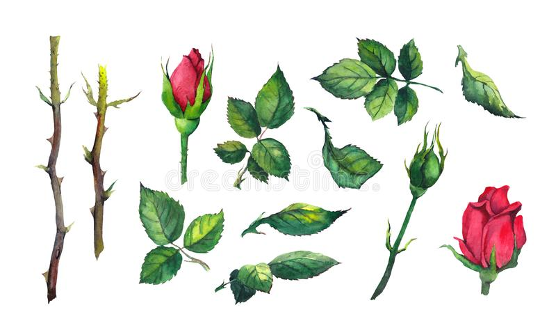 设置叶子,芽,红色玫瑰色花词根  水彩植物的例证 向量例证