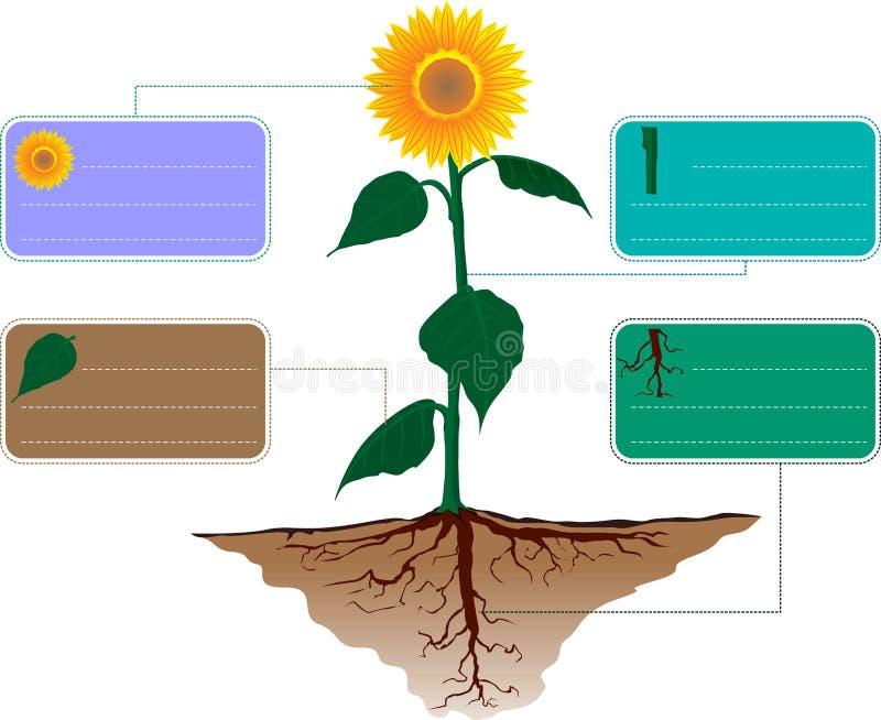 设置太阳花生态infographics传染媒介 库存例证