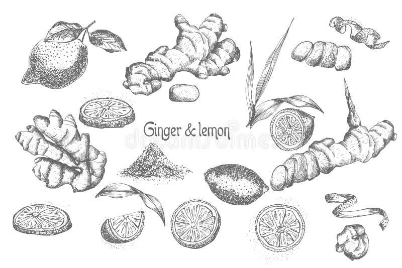 设置手拉在白色背景和柠檬在黑色隔绝的姜根、生活、花 减速火箭的葡萄酒 皇族释放例证