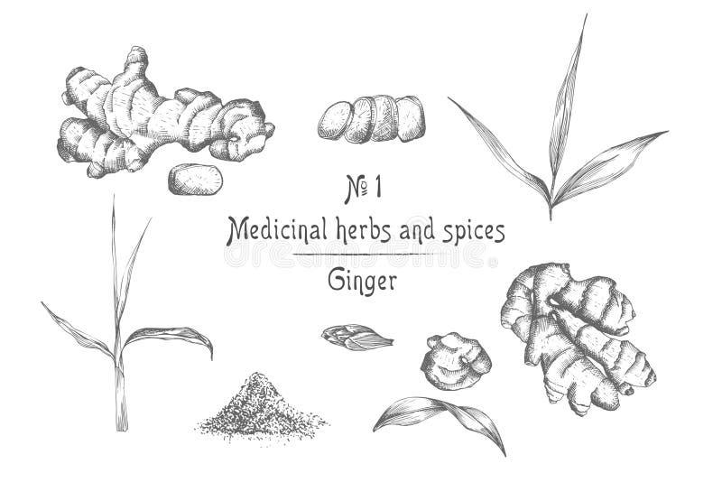 设置手拉在白色背景和花在黑色隔绝的姜根、生活 减速火箭的葡萄酒图形设计 向量例证