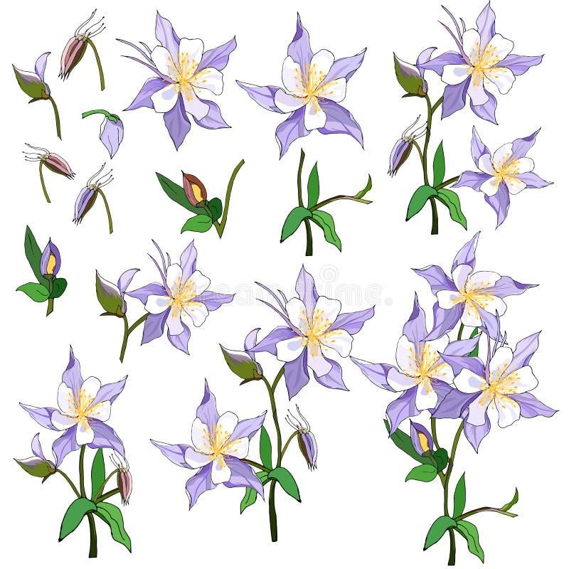 设置春天花桃红色和紫色在白色背景 Aquilegia 用手被画的春天花束 皇族释放例证