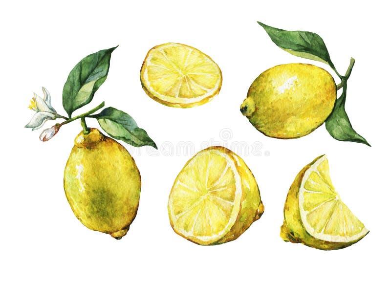 设置用与绿色叶子和花的整个和切片新鲜的柑桔柠檬 皇族释放例证